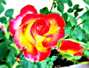 "Photo by Melissa Reyes Copyright 2012 ""Lisa's Rose"" aka Spiritual Rose posted in ""The Most Amazing Tool in my Box: The Rosary"" 1-24-2013 http://mizmeliz.com"