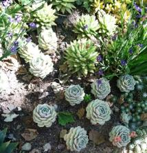 Succulents in the perfectly manicured gardens at the Getty Center